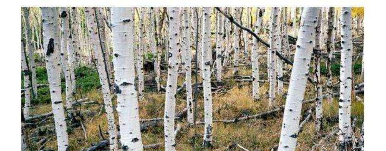 Árboles pando o el Gigante Tembloroso: Se cree que esta colonia de árboles, que son en realidad parte de un organismo masivo (todos tienen el mismo sistema de raíces bajo tierra), tiene 80.000 años de antigüedad. Sí, has leído bien, este gran organismo se encuentra en Utah, Estados Unidos.