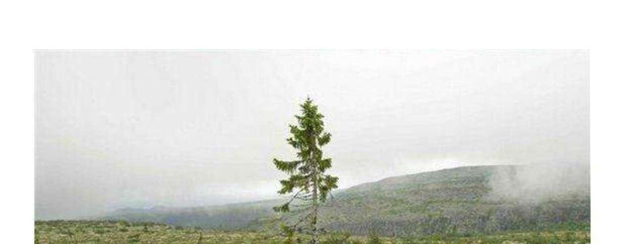 El antiguo Tjikko: Este árbol es el más viejo del mundo, sin contar a Pando que es un organismo de varios árboles que comparten un sistema raíces. tiene 9.550 años y está ubicado en la montaña Fulufjallet en Suecia.