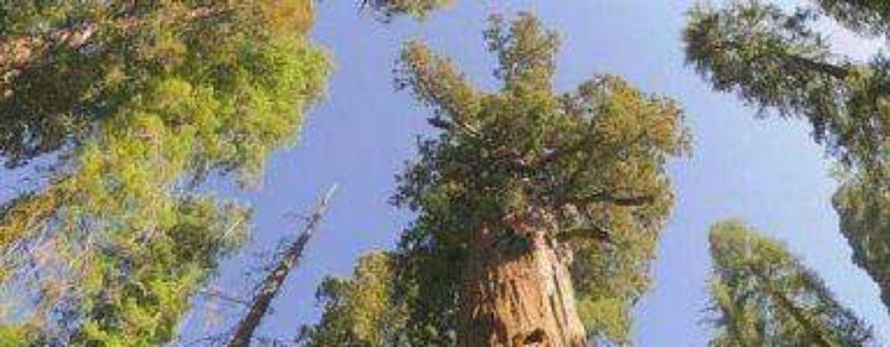 General Sherman: Esta secoya gigante se llama General Sherman y tiene cerca de 2700 años. Mide casi 88 metros, por ello es el más grande del mundo. El diámetro mayor del tronco alcanza los 11 metros.