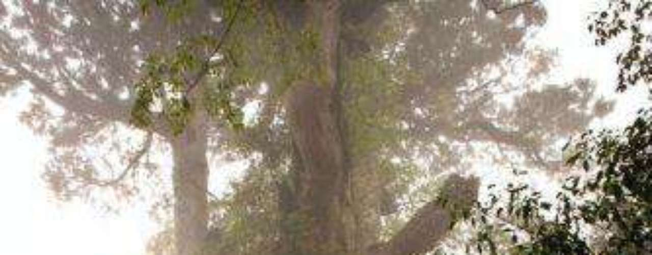 Jmon Sugi: Este árbol vive en Yakushima en Japón. Algunos científicos dicen que tiene cerca de 2000 años de edad, mientras que otros afirman que podría llegar hasta los 7000 años de edad.