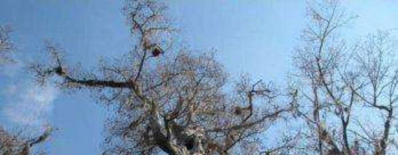 El Árbol Senador: Está situado en Big Tree Park, cerca de Longwood, Florida. Se considera como el mayor árbol de ciprés calvo en EE.UU.. Se estima que tiene más de 3400 años.