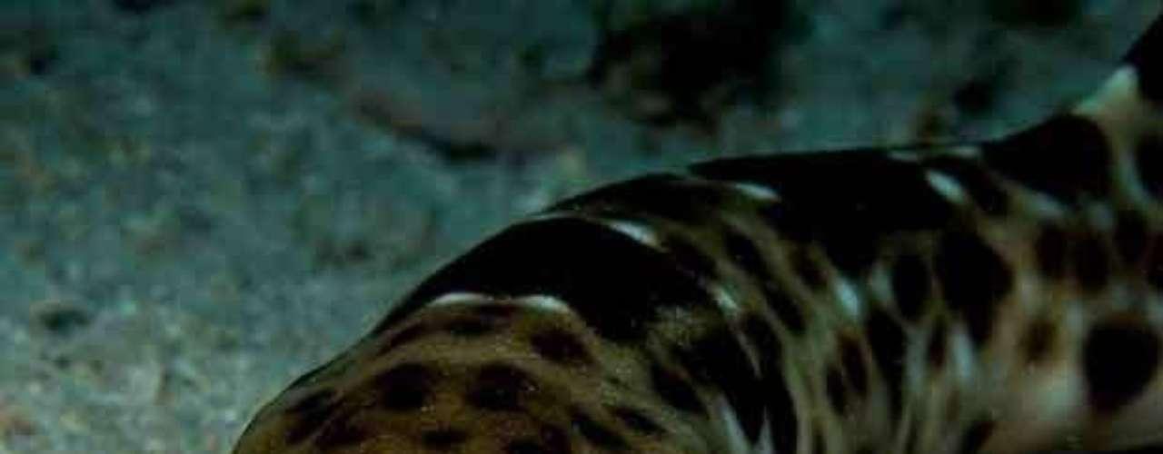 Fotos publicadas en nuevo libro conmemoran dos décadas del Programa de Evaluación Rápida de la organización Conservación Internacional. Más de 1,300 nuevas especies han sido descubiertas, como este 'tiburón que camina', hallado en Indonesia, que prefiere caminar usando sus aletas a lo largo de los arrecifes de poca profundidad.