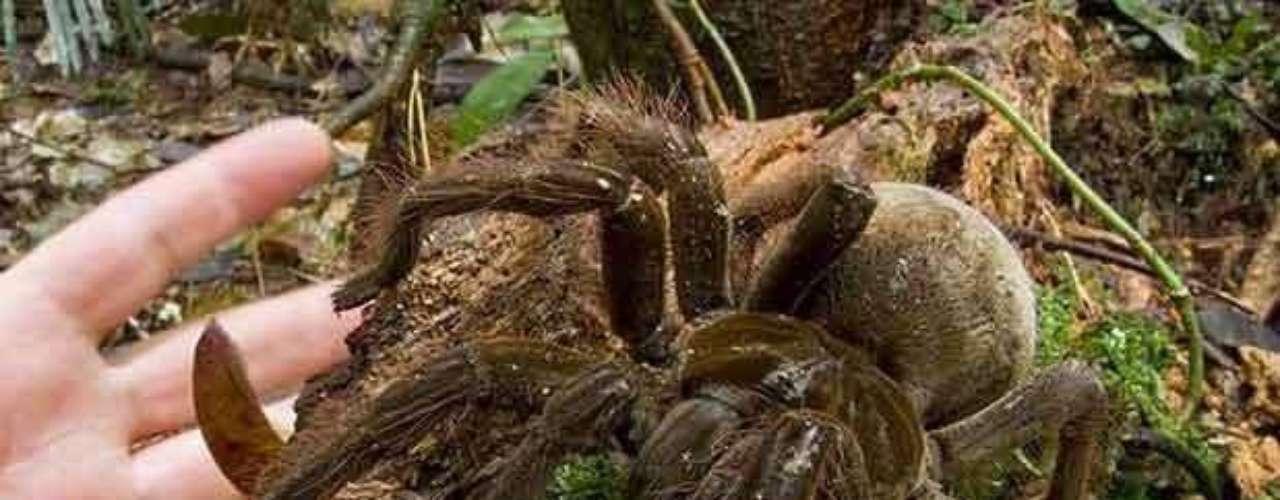 Esta araña conocida como Goliat es la más grande del mundo. Los científicos de Conservation International la vieron en Guyana en 2006. Viven en madrigueras en el suelo de las selvas tropicales. Tienen un veneno no mortal para los humanos, pero su principal línea de defensa son los pelos urticantes que cubren su cuerpo entero.