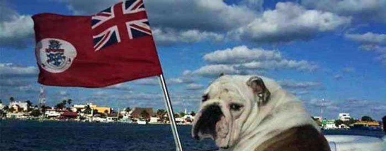 Sus tres perros bulldog ingleses la acompañan a todo lugar. En la imagen \