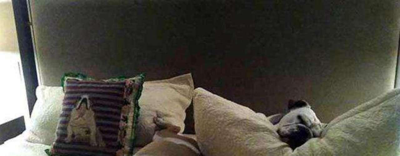 Otros dos de sus perros bulldog, descansando a sus anchas en las camas de los exclusivos hoteles.