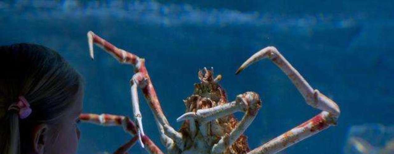 Según los especialistas, este cangrejo vive en las profundidades y sus patas pueden llegar a medir hasta 4 metros de largo.