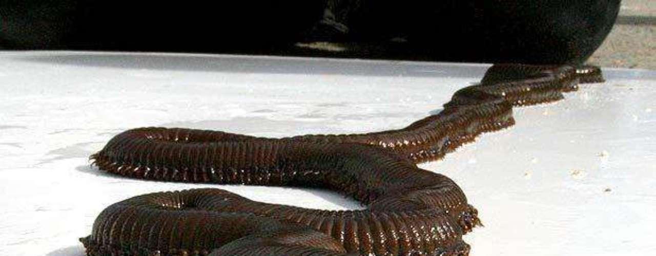 Este gusano gigante de 1,2 metros de largo fue encontrado de casualidad en un acuario del Reino Unido, debajo de unas piedras.
