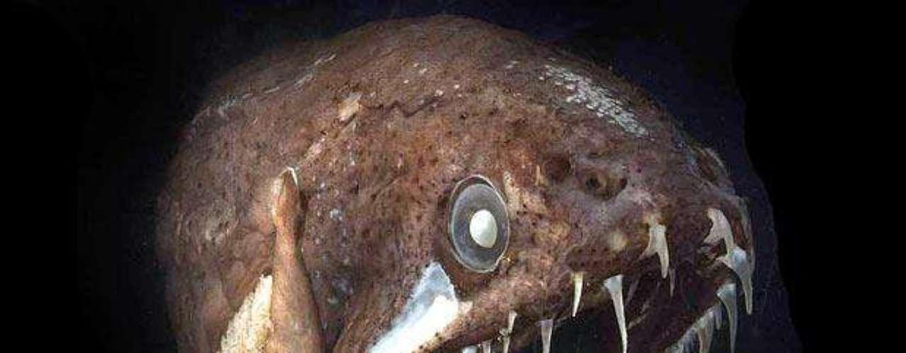 El pez dragón tiene dientes hasta en la lengua. Si bien parece un animal terrible, tiene el tamaño de una banana.