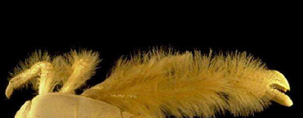El cangrejo yeti recibió ese nombre por su apariencia peluda. Este ejemplar fue descubierto a 2.228 metros de profundidad.