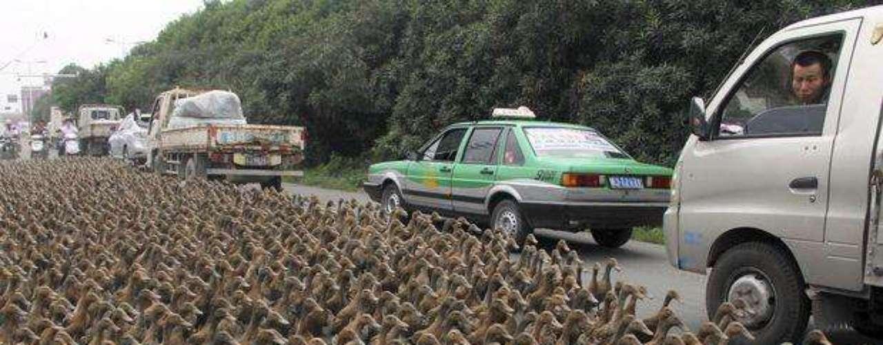 Varios conductores chinos se sorprendieron hoy al encontrarse en su camino y en medio de la carretera a un grupo de patos en la ciudad de Taizhou, en la provincia de Zhejiang, en China.