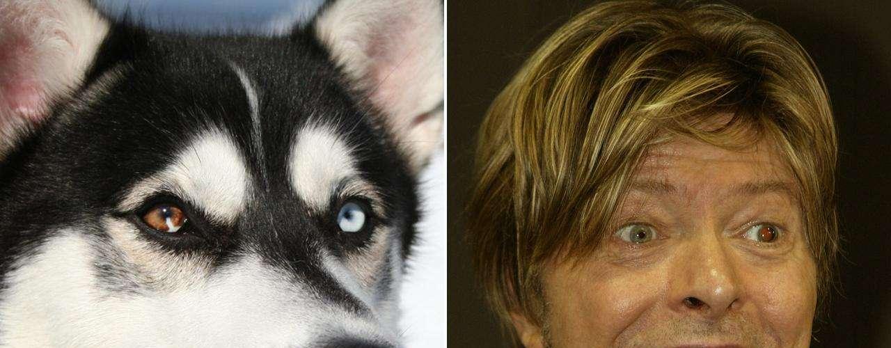 Saldivar Vázquez señaló que el Husky Siberiano podría ser el equivalente de David Bowie por sus ganas de explorar y encontrar nuevos mundos. Es la única raza que se destaca por tener los ojos de diferente color (al igual que el \