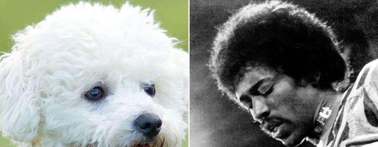 En el mismo grupo de figuras que dejaron este mundo a los 27 años, como Janis Joplin, se encuentra el virtuoso guitarrista Jimi Hendrix, a quien se le podría relacionar con un Bichón Frisé. El cachorro es juguetón, extrovertido, afectuoso y obediente. Hendrix tenía algo de extrovertido y la disposición de superar su día a día.