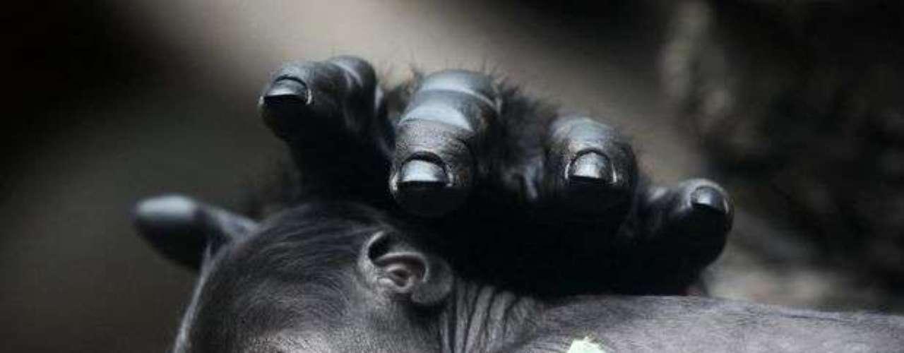 El zoológico de Frankfurt, Alemania, dio a conocer las imágenes de un gorila bebé recién nacido. En la foto, el gorila bebé duerme con su madre Rebecca.