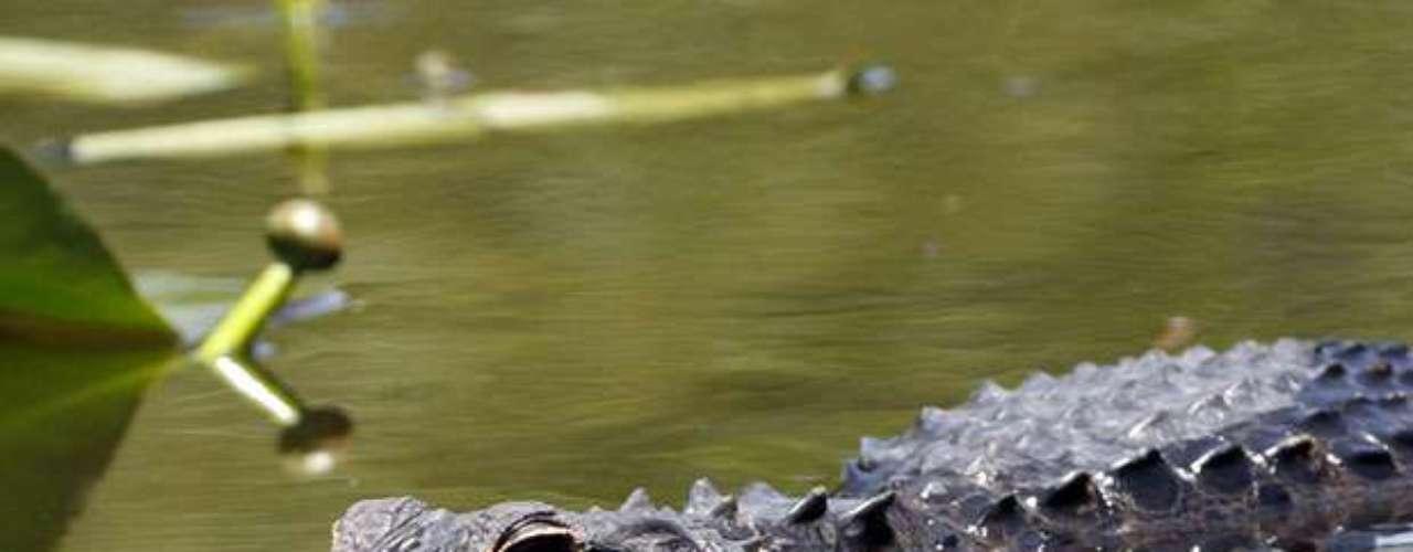 El 10 de julio de 2012 un caimán le arrancó un brazo a un adolescente identificado como Kaleb 'Fred' Langdale, de 17 años, cuando nadaba con unos amigos en un lago del sur de Florida y, aún cuando las autoridades lograron recuperar la extremidad, los médicos no pudieron reimplantarla.