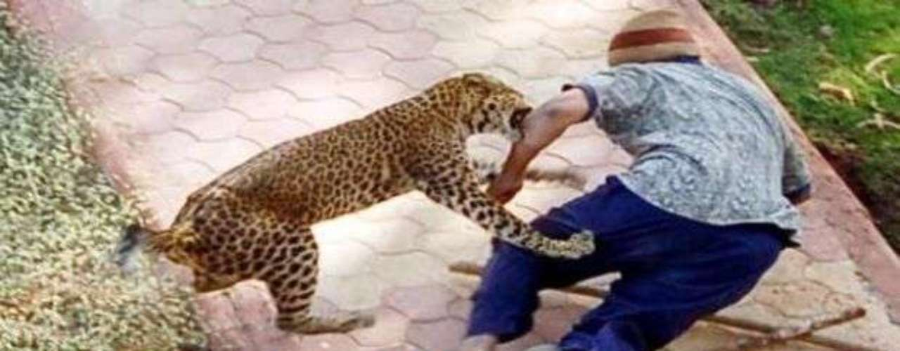 Un leopardo ataca a una persona en una colonia residencial en la ciudad india de Nashik, en enero del 2007. La víctima intentaba distraer al animal pero se acercó demasiado, aunque vivió para contarlo. Después de una persecución por toda la ciudad, el leopardo fue finalmente capturado y trasladado a un parque del departamento forestal.