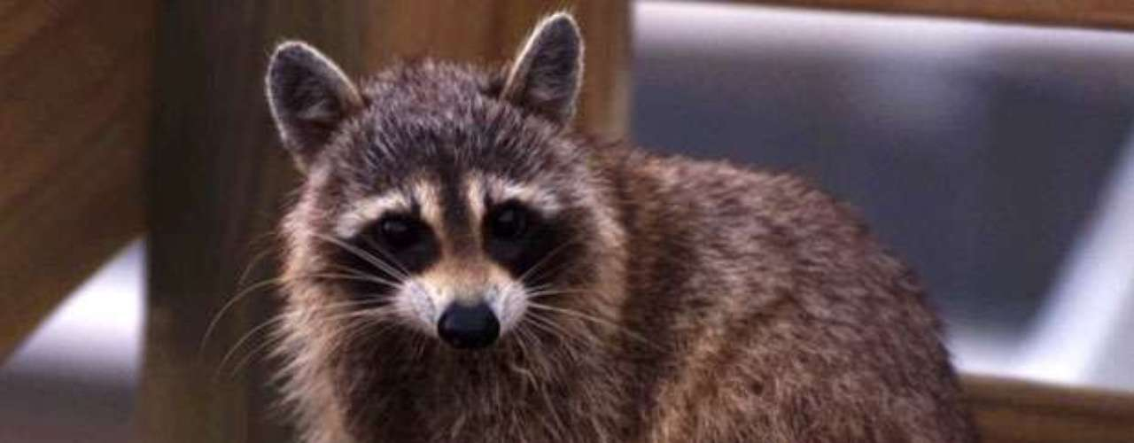En otro impactante caso una mujer identificada como Michaela Lee, de 28 años, fue atacada por mapaches luego de que su perro persiguiese a varios de esos animales y les obligase a treparse a un árbol en el Parque Fort Steilacoom, en Lakewood, Washington. Los animales le arañaron las piernas, la persiguieron unos 20 metros, la derribaron y la mordisquearon. Lee fue tratada por unas 16 heridas y varios arañazos.