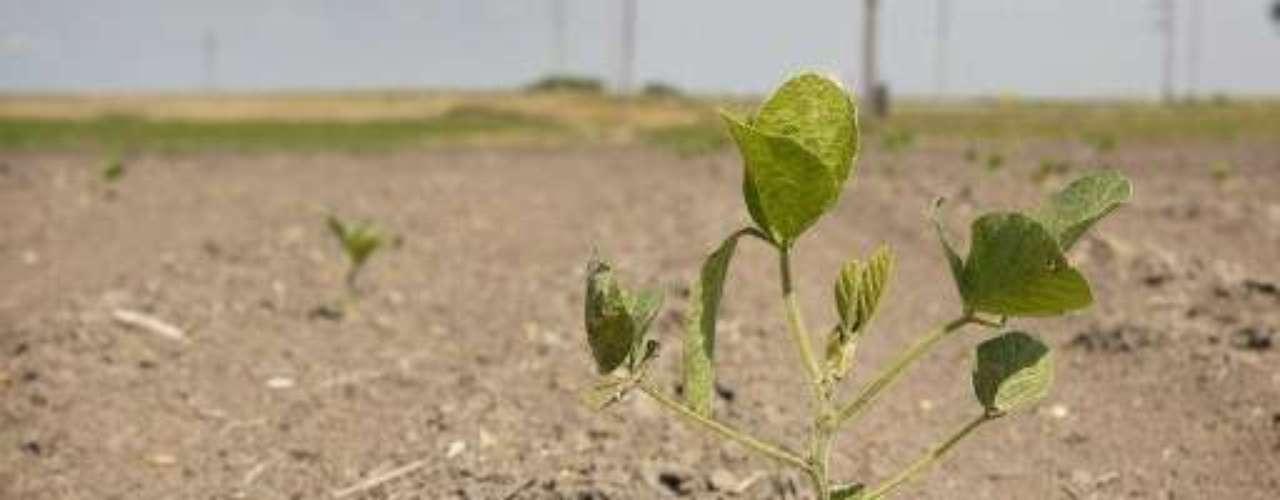 Los campos de maíz han sido destruidos en varias localidades por las faltas de lluvias. Ahora la soja, que se desarrolla más tarde que el maíz, está en la mira.