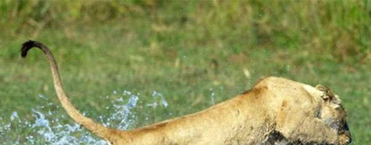 Las fotos fueron tomadas en Botswana, cuando el felino atacó para proteger a sus cachorros durante el cruce de un río.