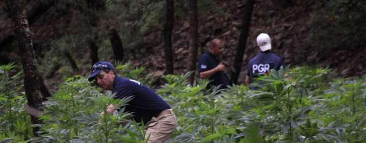 La policía Federal de México destruyó una plantación de marihuana localizada a 5 kilómetros de Sierra Nuevo Delicias Chihuahua, en Ciudad Juárez.