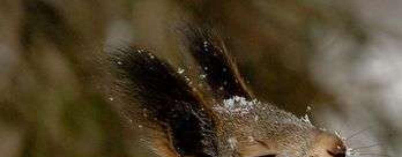 Un conejo en un parque de Moscú pareciera tener un pensamiento profundo. Pero está olfateando.