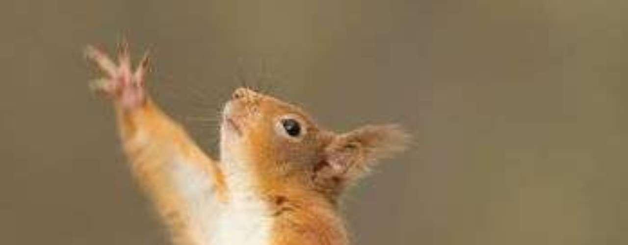 Este otro animal parece estar bailando en Escocia.