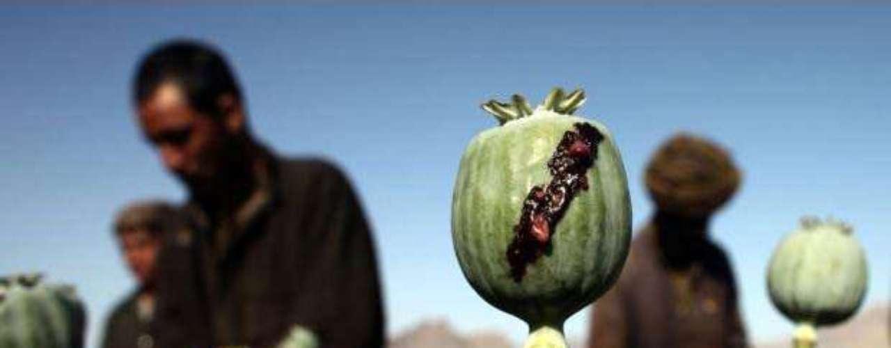 El opio representa el quince por ciento del producto interior bruto afgano. Tan solo quince de las 34 provincias del país se mantienen «libres» de cultivos. Las mayores superficies de adormidera están en Helmand y Kandahar. En la imagen, cosechadores recolectan la savia en un campo de amapolas en un pueblo de Golestán distrito de la provincia de Farah, 5 de mayo de 2009.
