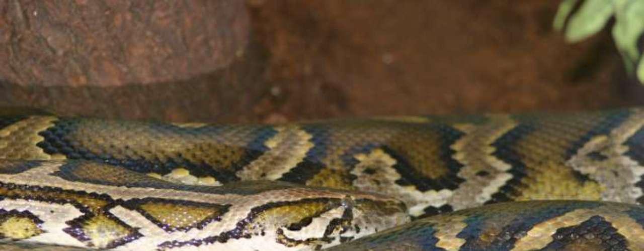 2- Encuentran en Florida una pitón birmana giganteLos investigadores dicen que esta serpiente pitón birmana, que mide más de 5 metros y pesa 75 kilos, es la más grande hallada hasta el momento en el estado de Florida, Estados Unidos.Las autoridades locales han tomado una serie de medidas para tratar de reducir la población de pitones birmanas, como prohibir su importación y permitir que se las pueda cazar.