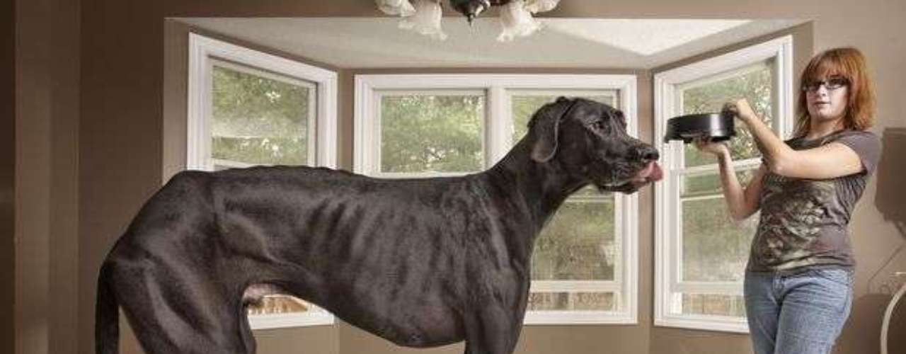 Un perro que mide un metro doce centímetros fue declarado el perro más grande del mundo por el Libro Guinnes de los Récords. Zeus vive en Michigan y come al día una bolsa de 14 kilos de alimentos. La dueña explicó que tuvo que comprarse un furgón para trasladar a  su mascota y que debe tener cuidado si la pisa, ya que le deja moretones, debido a su peso.