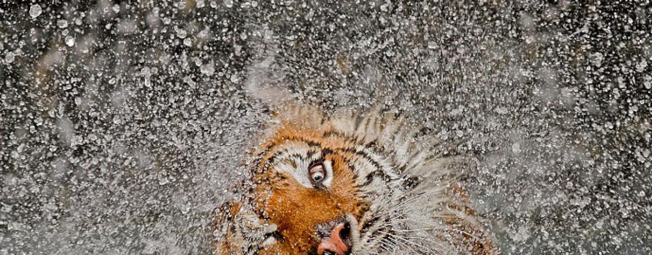 En esta imagen captada por el fotógrafo Ashley Vincent se puede ver un tigre de indochina secándose después de un baño en el zoológico.