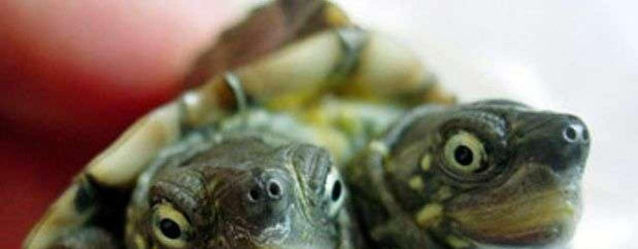 Otro animal de la lista es esta tortuga con dos cabezas encontrada en China. El animal habría vivido sin dificultades y habría utilizado las dos cabezas para turnarse a la hora de la comida. El sitio afirma que lo más probable es que se trate de de gemelos siameses. (AP)