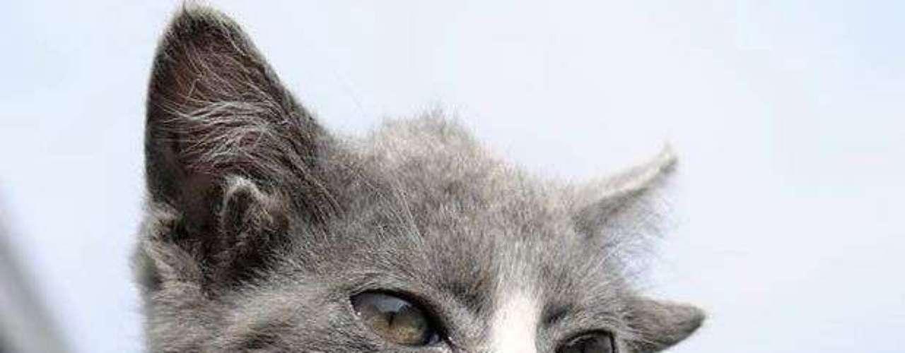 Luntik, un gato que vive en la ciudad rusa de Vladivostok, llamó la atención por causa de sus 4 orejas. El felino tiene dos orejas extras, pero sin canales auditivos.(Reuters)