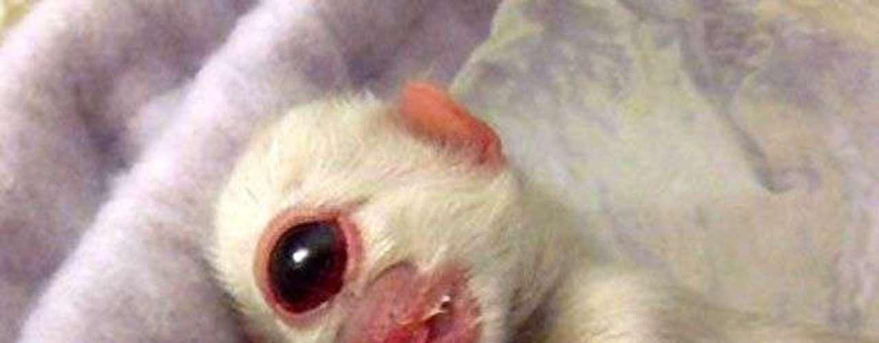El gato Cy, llamado así por Cyclops o cíclope en inglés, nació con sólo un ojo y murió un día después de su nacimiento. Este animal fue el centro de un debate internacional debido a que podía tratarde de un montaje. Actualmente se encuentra en un Museo de Nueva York. (AP)