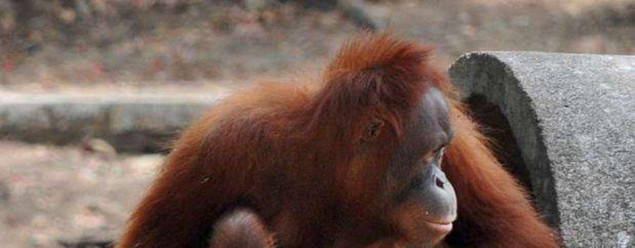 Este viernes, Tori tuvo una cría cuyo sexo aún se desconoce porque Tori no deja acercarse a nadie en el zoológico de Solo, en Java Central.