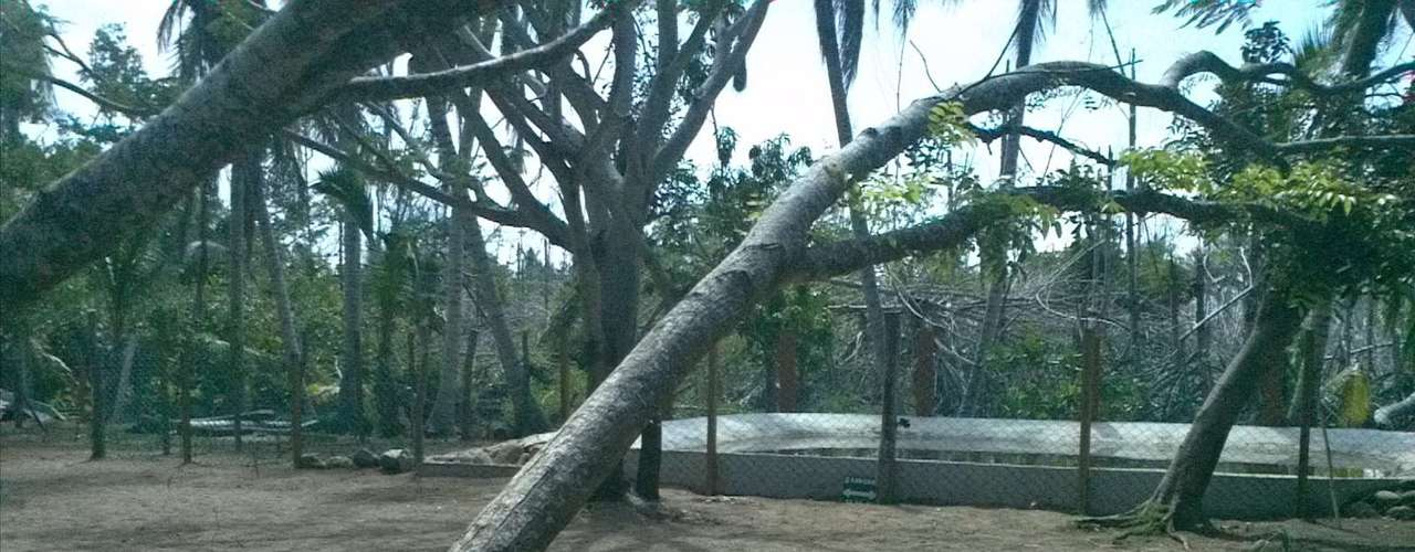 Tras el paso de los huracanes otras especies de árboles también fueron dañados como esta caoba.