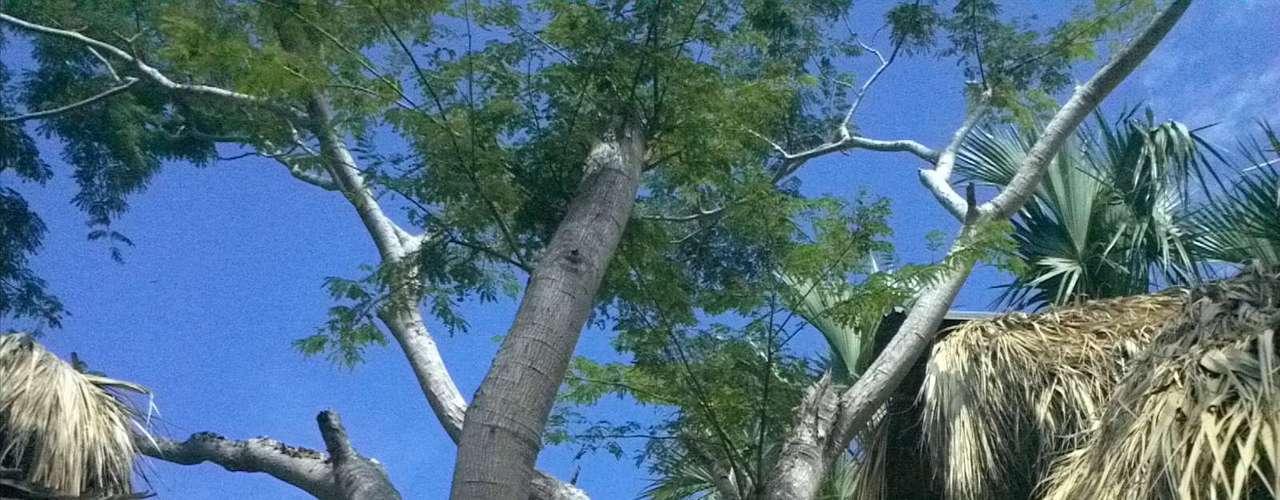 Y el árbol de Parota o Huanacaxtle, la madera de esta especie, junto a la caoba, son consideradas de las más finas y resistentes.