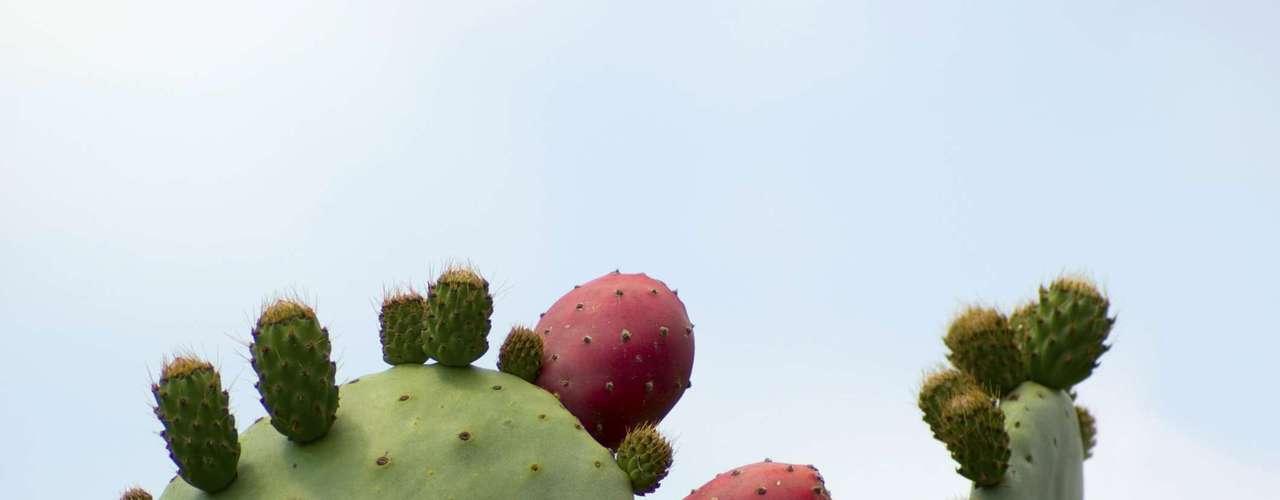 Cactus: Un estudio llevado a cabo en 2004 dice que el cactus puede prevenir las náuseas y la sequedad de boca, algunos síntomas de la resaca. Sin embargo, es necesario consumir la planta antes de beber alcohol.