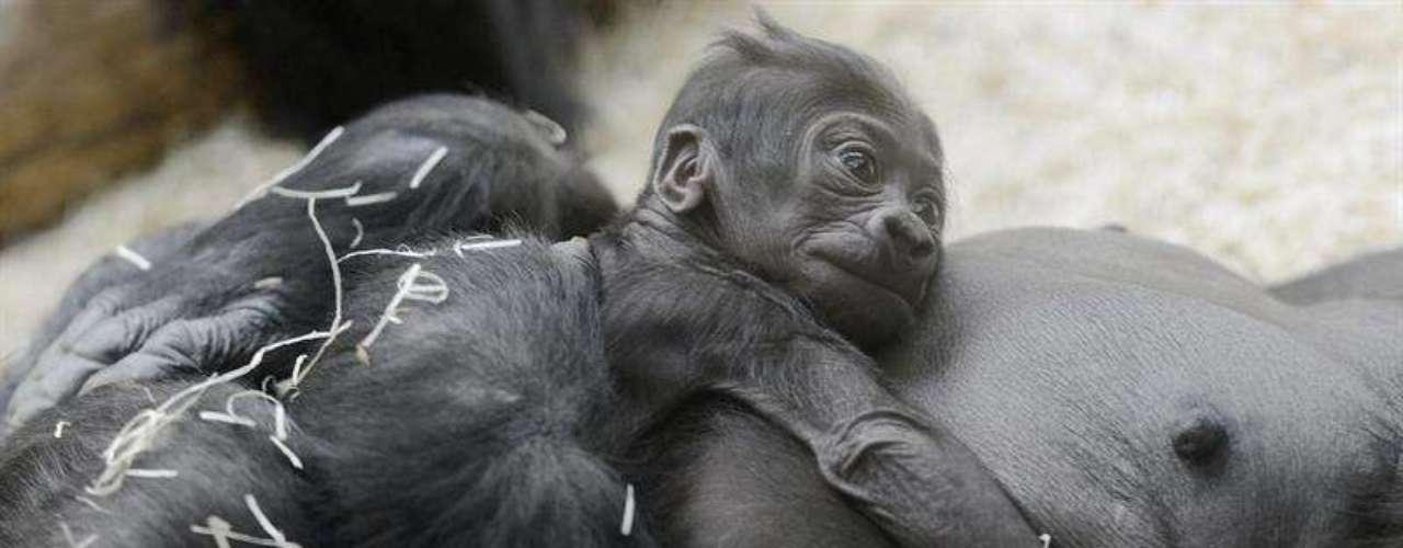 La presencia del bebé gorila ha provocado mucha expectación en el zoo.