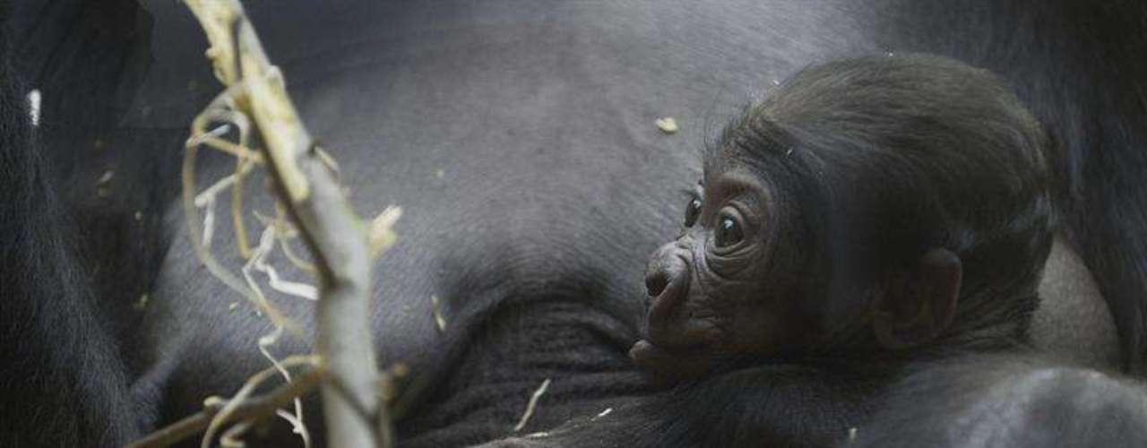 La madre Kijivu dio a luz a primera vez en 2004, cuando tuvo una hembra.