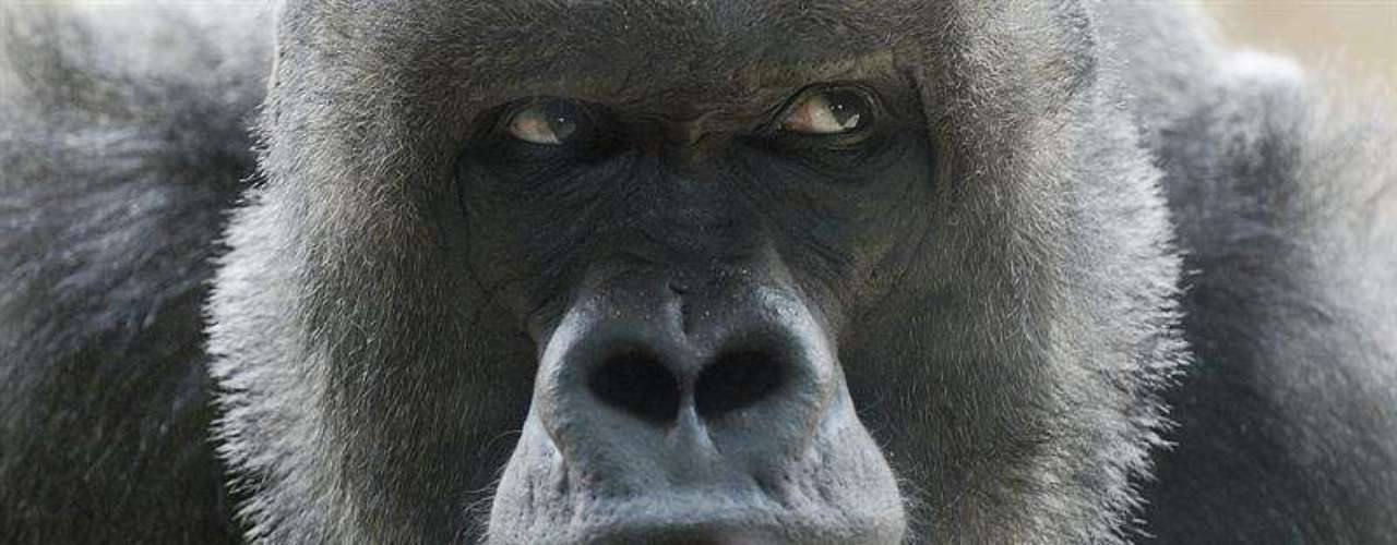 El grupo de gorilas, formado por otros seis miembros, ha aceptado bien a la recién nacida.