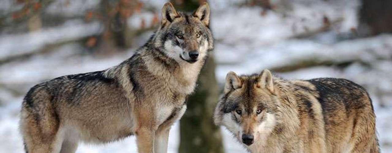 4 - La basura convirtió a los lobos en perros: Un reciente estudio realizado por investigadores estadounidenses y suecos y publicado en la revista Nature, demuestra que los perros tienen más genes involucrados en el metabolismo de almidones que los lobos.