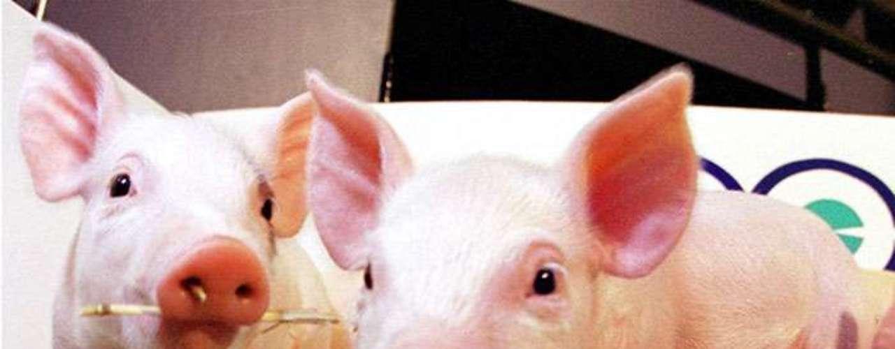La clonación también es importante en otros campos terapéuticos. Por un lado se busca crear animales, por ejemplo cerdos, cuyos órganos puedan ser usados para trasplantes en seres humanos. Otro objetivo es obtener modelos animales para enfermedades del hombre.