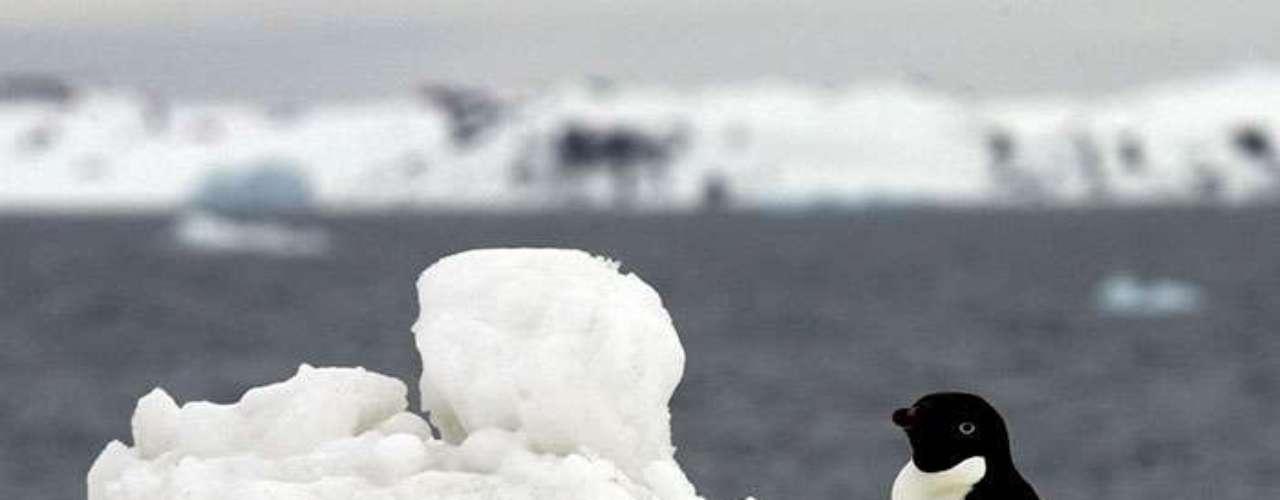 El hielo es la fuente de toda vida en la Antártida. Es complicado pensar que el hielo da vida, pero es un elemento que tiene directa injerencia en el vientre de los pingüinos.