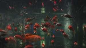 Exposição reúne arte, peixes e tradição japonesa em Tóquio Video: