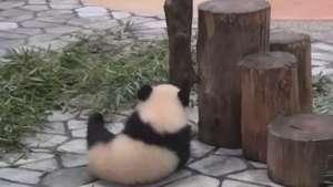 Flagrantes de filhotes de panda caindo fazem sucesso na web Video: