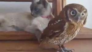 Gato e coruja compartilham momentos de lazer Video: