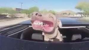 Cachorro curte vento durante passeio de carro Video: