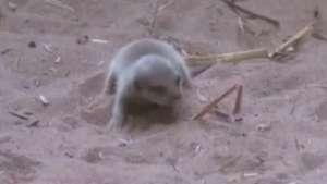 Bebê suricato é 'descoberto' em jaula na Inglaterra Video: