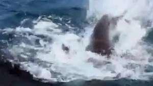 Homem registra confronto entre dois tubarões gigantes Video: