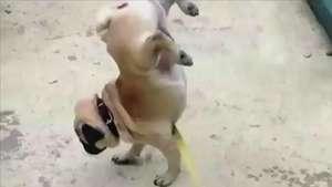 Cachorro tem maneira inusitada de fazer xixi Video: