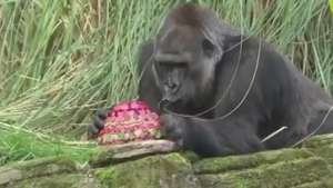 Gorila completa 40 anos e ganha festa no zoo de Londres Video: